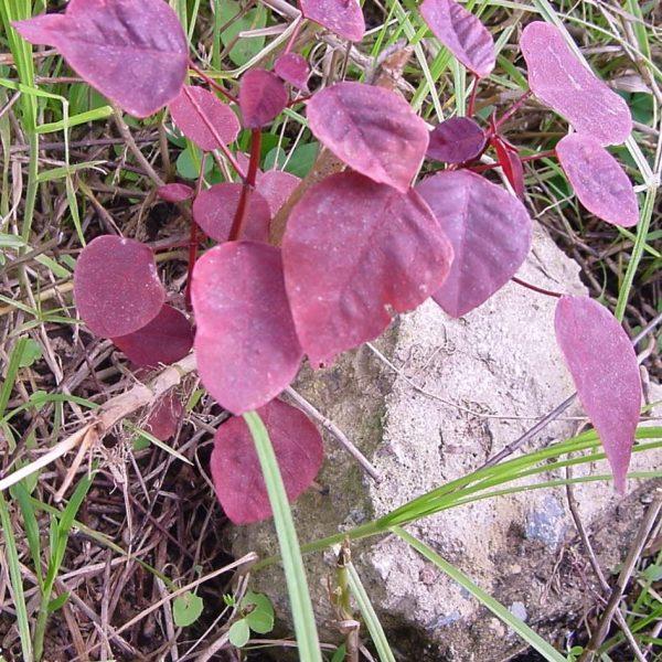 cultivo-del-trompillo-o-lechero-rojo-02