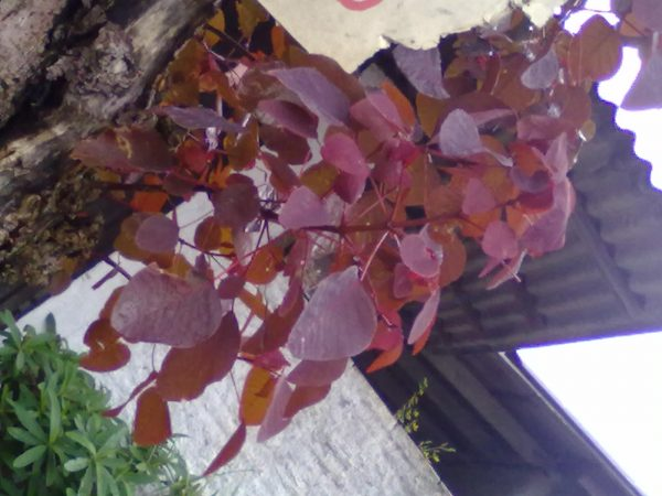 cultivo-del-trompillo-o-lechero-rojo-03
