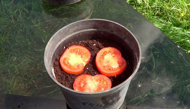 germinar-tomate