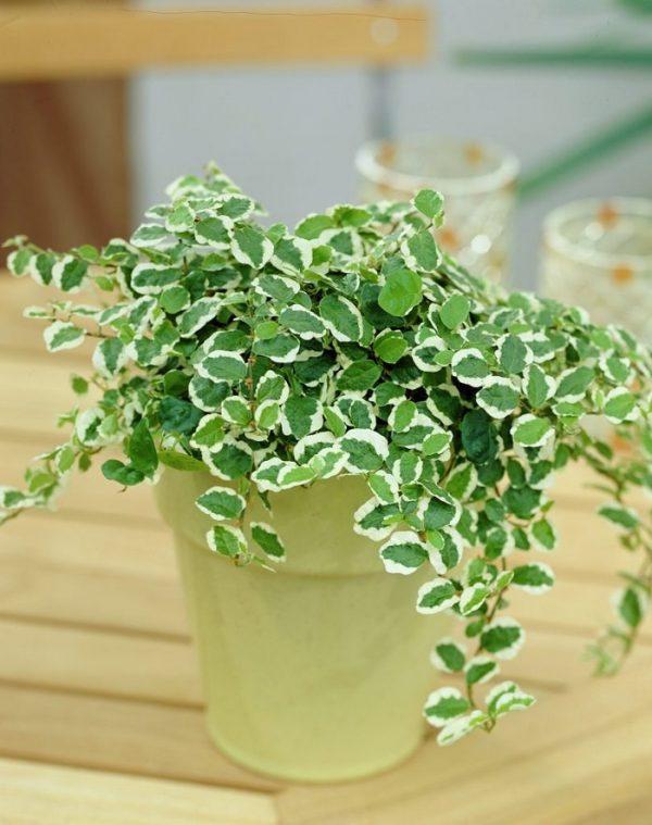 el ficus tapizante o ficus trepador ficus pumila es una planta vigorosa de lento crecimiento sus tallos se aferran a cualquier superficie y sus hojas - Plantas Verdes De Interior