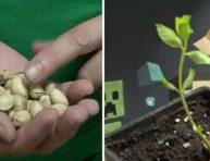 imagen Como germinar pistachos