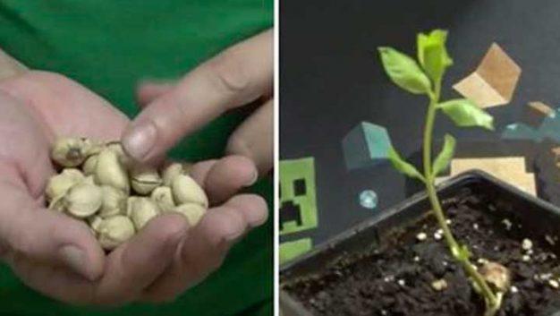 semillas-de-pistacho