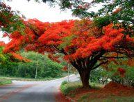 imagen Conoce el flamboyán o árbol de la llama