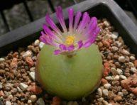 imagen Conophytum burgeri: Una exótica suculenta