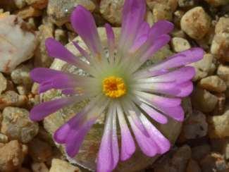 conophytum-burgeri-una-exotica-suculenta-03