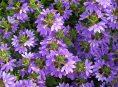 imagen Cultivo de la escaevola o flor de abanico