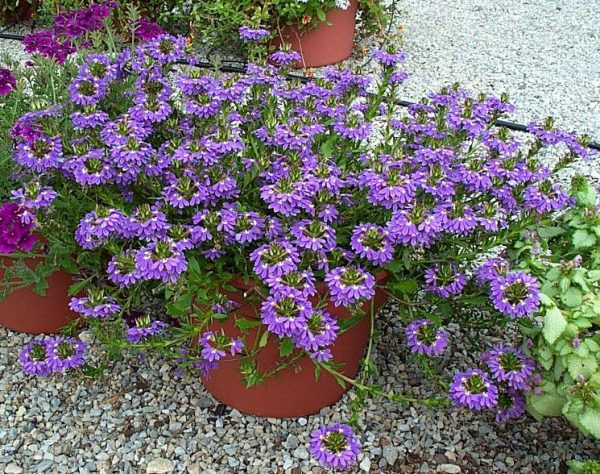 cultivo-de-la-escaevola-o-flor-de-abanico-03