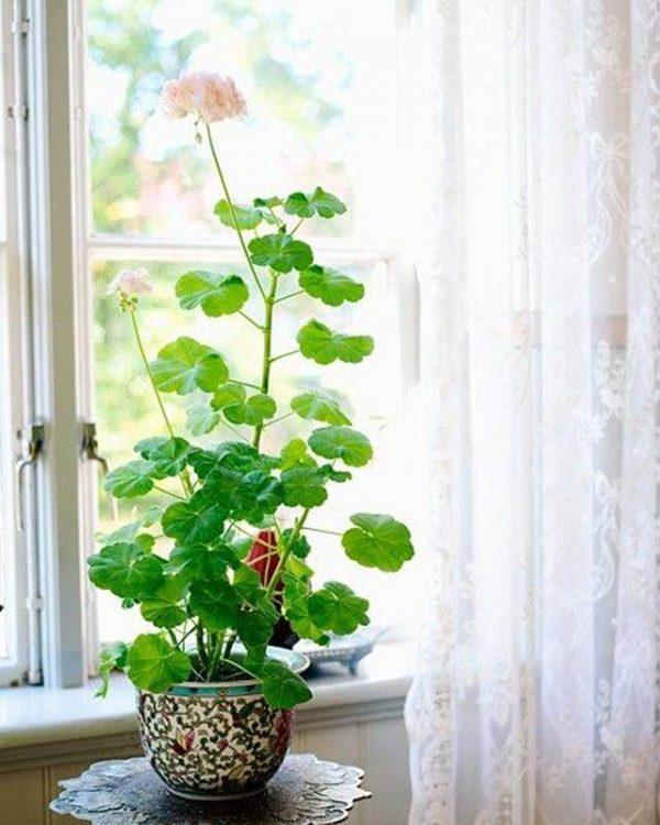 cultivo-del-geranio-como-planta-de-interior-02
