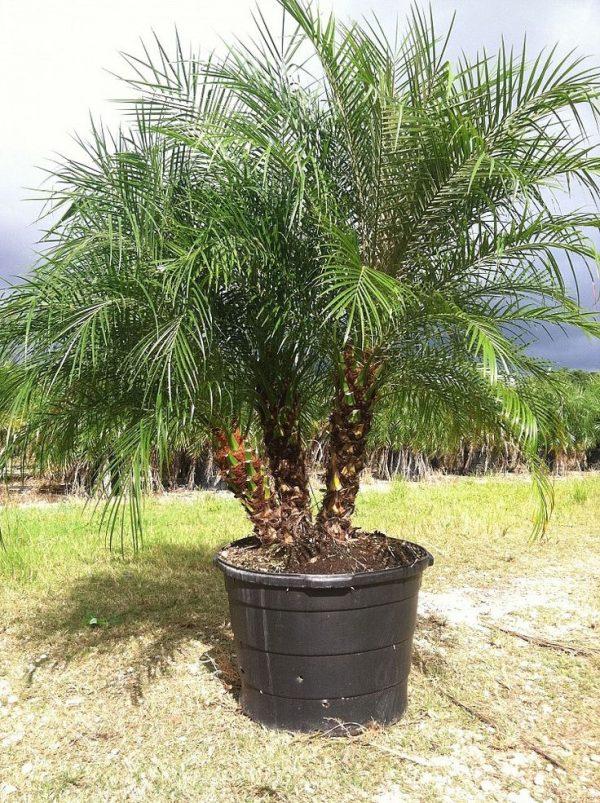 El cultivo de la palmera f nix enana for Tipos de palmeras de exterior