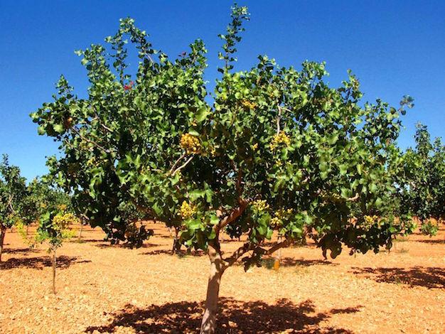 planta-de-pistacho-1