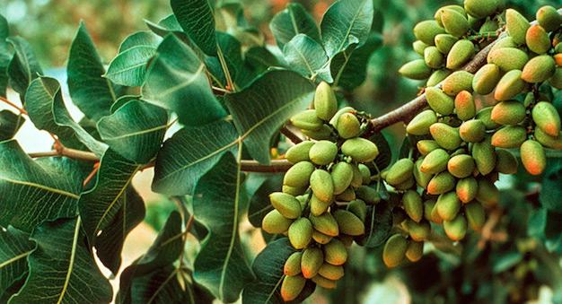 planta-de-pistacho-2