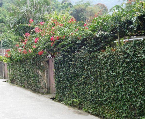 plantas-que-reducen-el-calor-de-las-paredes-01