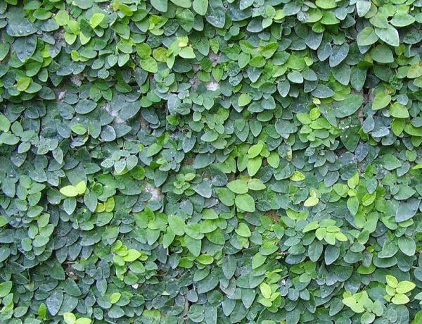 Plantas que reducen el calor de las paredes Plantas para paredes verdes