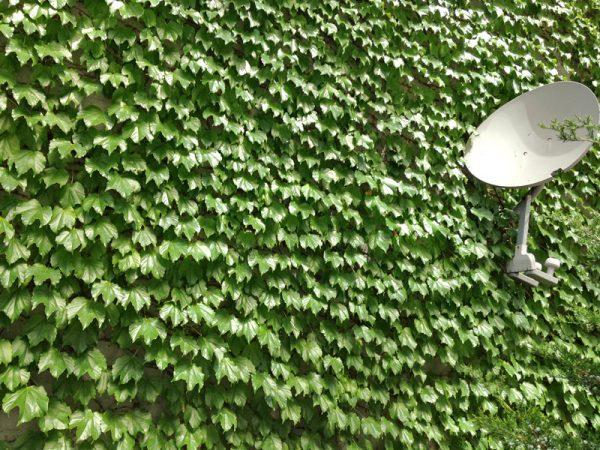 plantas-que-reducen-el-calor-de-las-paredes-04