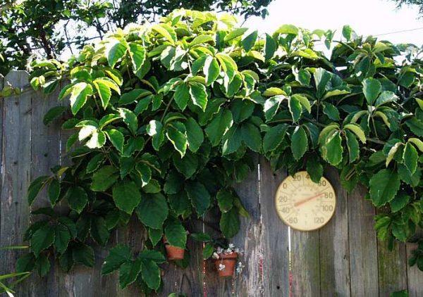 plantas-que-reducen-el-calor-de-las-paredes-06