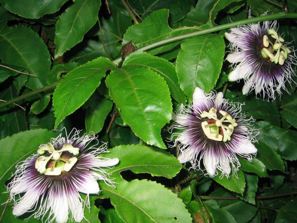 plantas-que-reducen-el-calor-de-las-paredes-07