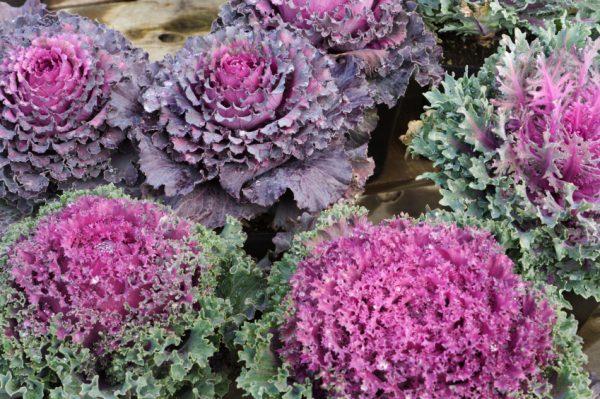 caracteristicas-y-cultivo-de-la-col-ornamental-01