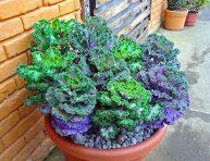 imagen Características y cultivo de la col ornamental