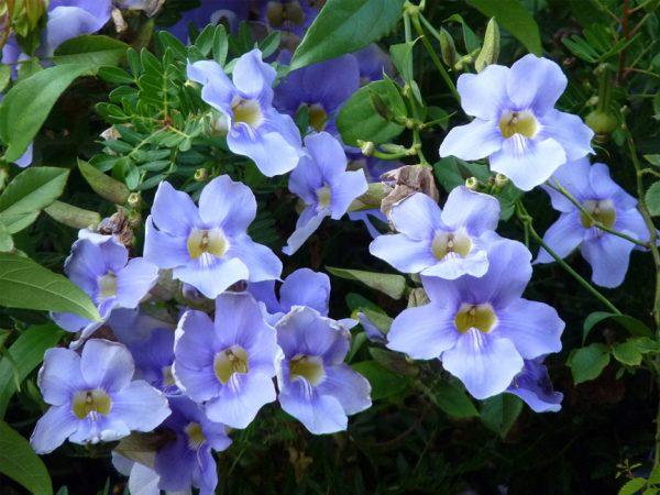 caracteristicas-y-cultivo-de-la-tumbergia-azul-01