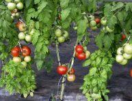 imagen Cómo injertar tomateras