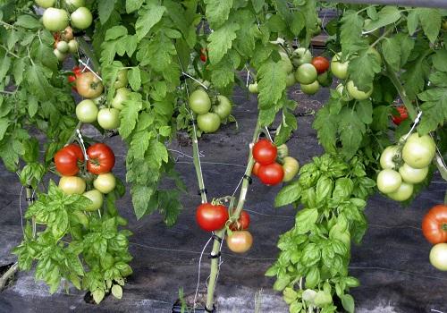 como-injertar-tomateras-01