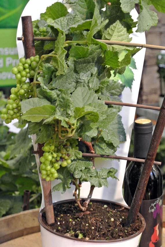 Cultivo de la vid en maceta
