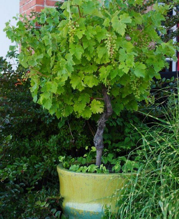 cultivo-de-la-vid-en-maceta-06
