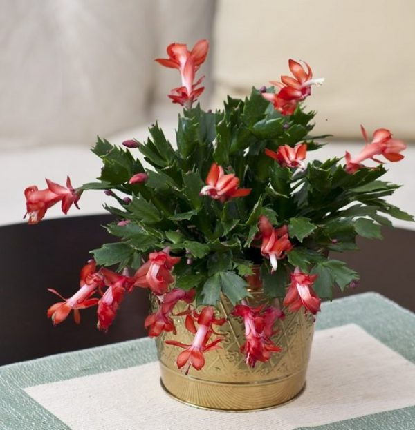 Large Christmas Cactus In Gold Bucket Succulents Amp Cactus - Best Fashion Style Galleries
