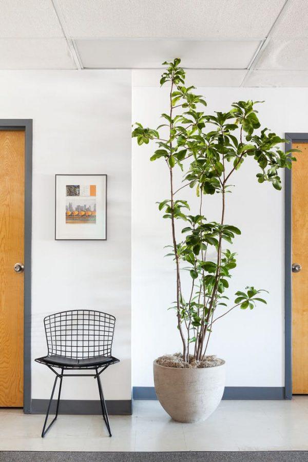 10 rboles que se pueden cultivar en interior - Plantas interior grandes ...