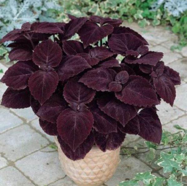 el cleo o cretona coleus blumei es una planta de interior bastante conocida originaria de la india y java la podemos encontrar en diversos colores de