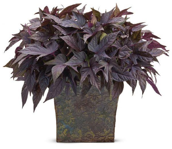 la ipomoea batatas usweet carolineu es un cultivar de camote o batata que puede tener las hojas de color morado es fcil de cultivar tanto dentro como
