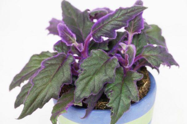 15 magníficas plantas de interior de color morado