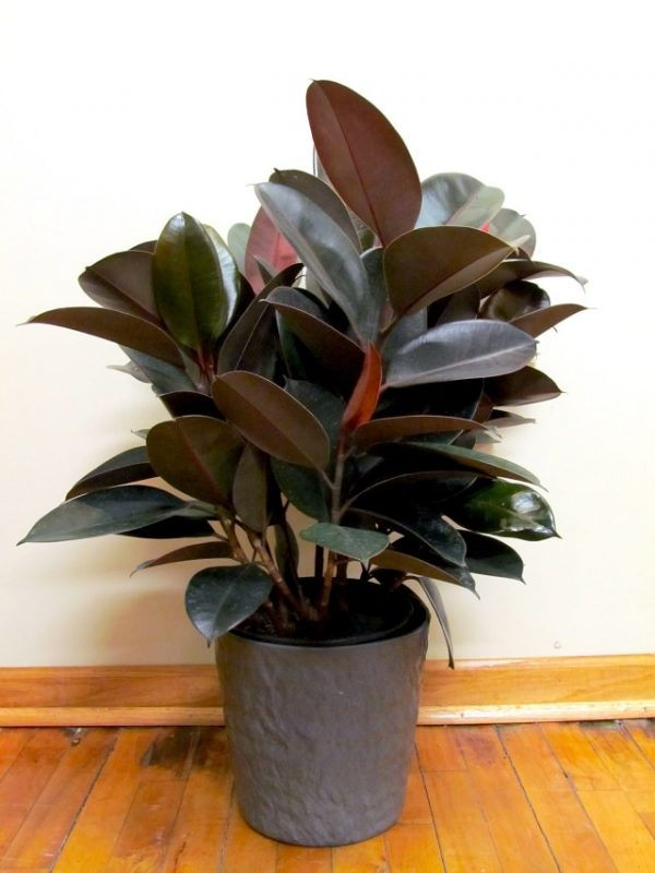 15 magn ficas plantas de interior de color morado for Plantas decorativas de exterior