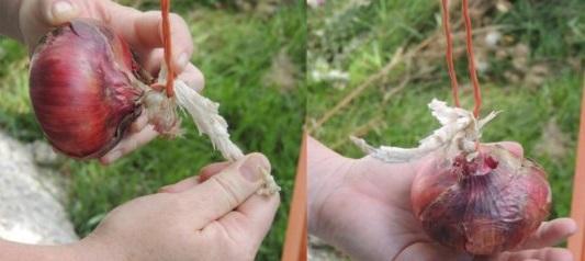 como-trenzar-cebollas-para-guardar-012