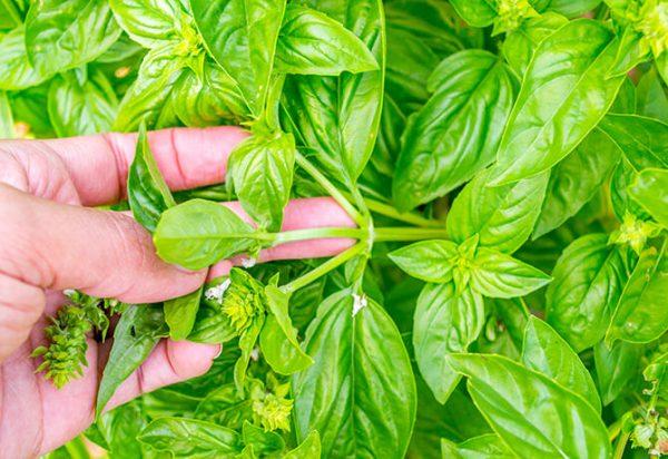 como-y-por-que-podar-las-hierbas-aromaticas-02