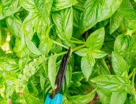 imagen Cómo y por qué podar las hierbas aromáticas