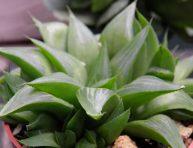 imagen Conoce la Haworthia turgida