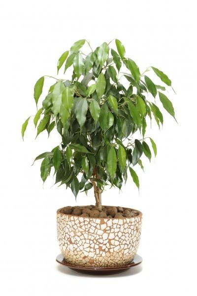 consejos-para-cultivar-ficus-en-interior-01
