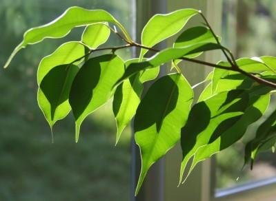 consejos-para-cultivar-ficus-en-interior-02