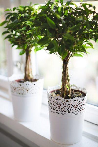consejos-para-cultivar-ficus-en-interior-03