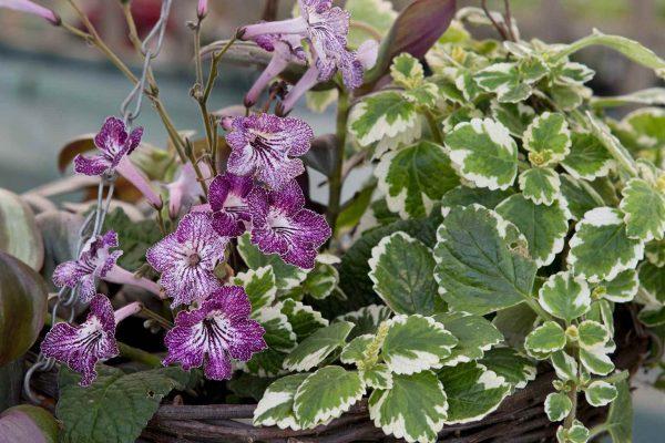 Prepara Una Cesta Colgante Con Plantas Para Interior - Plantas-colgantes-de-interior