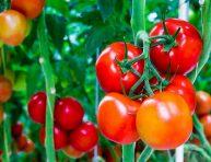 imagen 8 formas de mejorar el suelo para los tomates