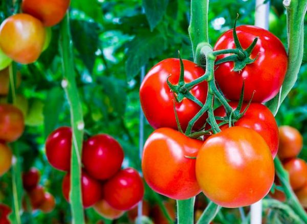 8 ways to improve the soil for the tomatoes 1