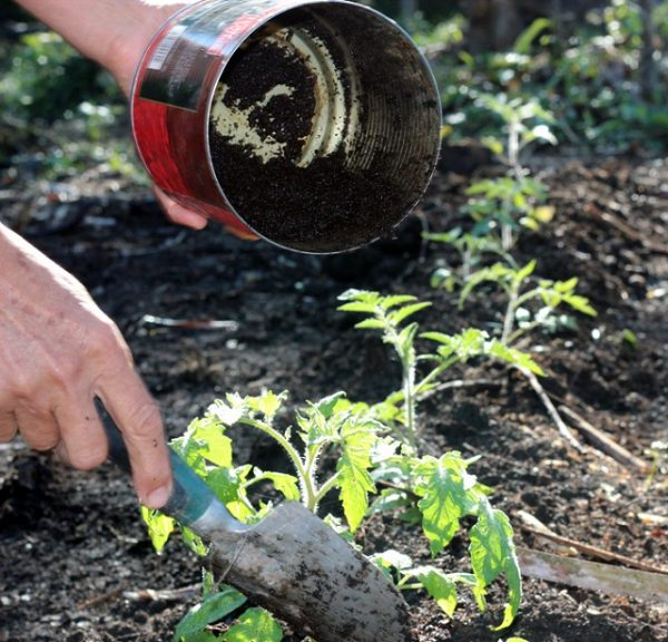 8 ways to improve the soil for the tomatoes 8