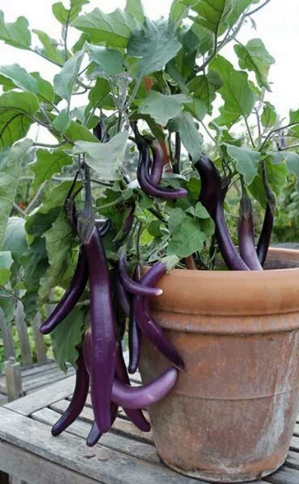 How to grow eggplant in a container 2