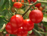 imagen Mejora tus tomates con los despojos del pescado