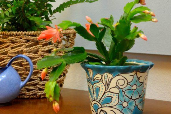 Reproducir el cactus de navidad por esquejes de hoja for Santa teresita planta