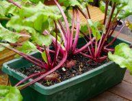 imagen Cómo cultivar remolachas en macetas