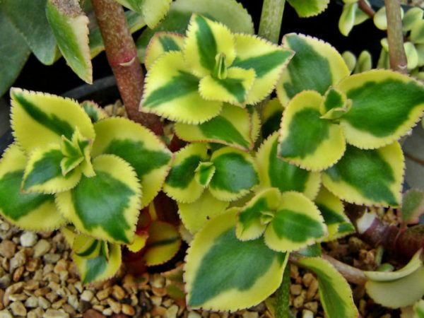 Crassula sarmentosa variegata 1