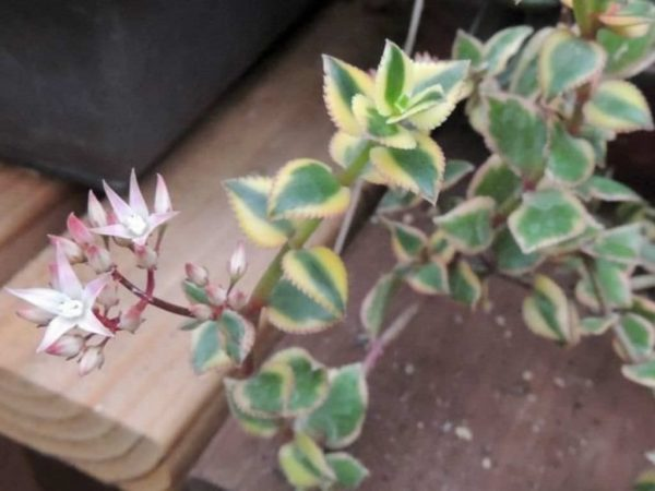 Crassula sarmentosa variegata 4